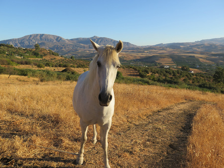tethered: White horse in Alora countryside tethered by rope on front leg Stock Photo