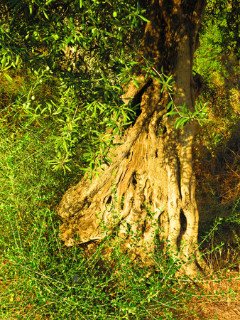 gnarled: Old gnarled Olive trunk in early morning golden sunshine in Alora countryside, Andalucia Stock Photo