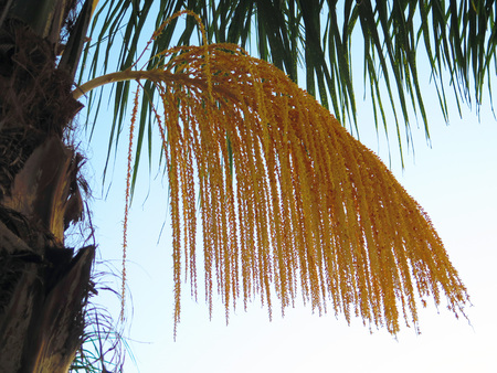 phoenix dactylifera: Phoenix dactylifera also known as date palm showing early edible sweet fruit.