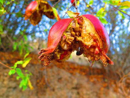 overripe: OverRipe pommegranate fruit on tree in Alora Countryside Andalucia
