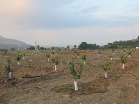 arboleda: Reci�n plantado Naranjal nearAlora, Andaluc�a