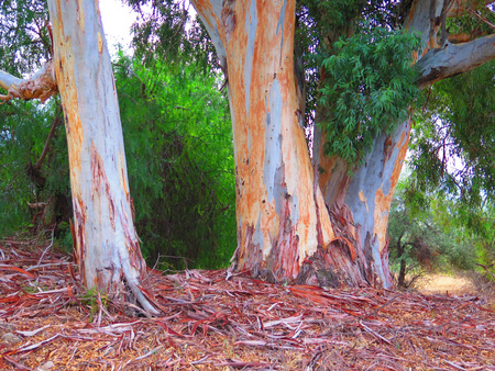eucalyptus trees: Trunks of two eucalyptus trees without bark in Alora Countryside, Andalucia