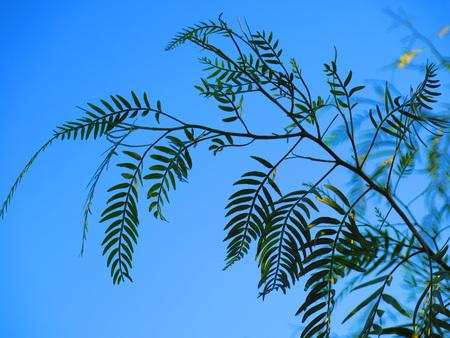 falso: Silueta de hojas en Pepper Tree Falso cerca de Alora, Andaluc�a Foto de archivo