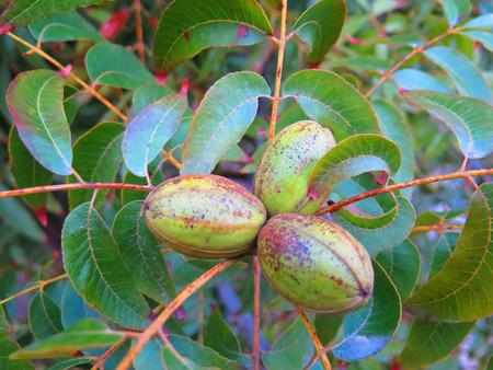 Close-up van Fruit peulen op pecan boom dichtbij Alora, Andalusië Stockfoto