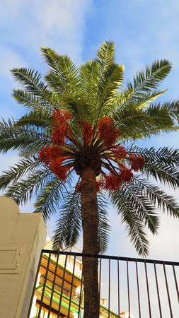 dactylifera: Phoenix dactylifera also known as date palm showing ripe edible sweet fruit.