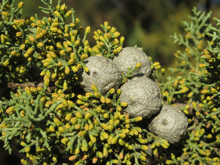 pinecones: Close-up of Small gray pinecones in Alora Countryside Stock Photo