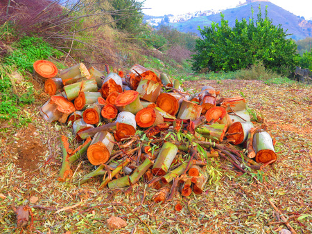 eucalyptus trees: Trunks of two eucalyptus trees cut down for firewood in Alora Countryside, Andalucia Stock Photo