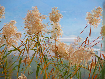 seeding: Seeding tall green grass closeup against blue sky Stock Photo
