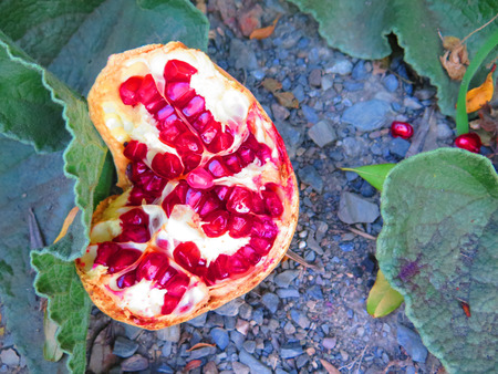 overripe: OverRipe pommegranate fruit on ground in Alora Countryside Andalucia
