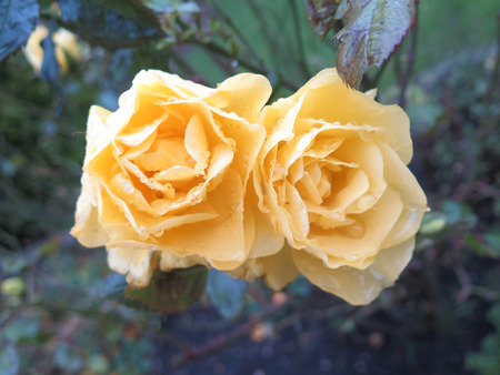 winter garden: Beautiful bright fresh yellow coloured roses in Danish winter garden Stock Photo