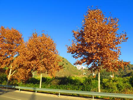 autumn motif: Sun shining on Autumn Leaves on Maple Tree