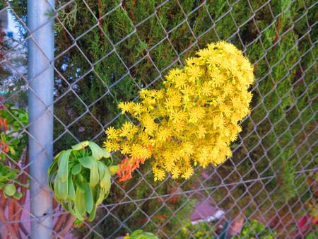 """plants species: Aeonium � un genere di circa 35 specie di piante subtropicali succulenti della famiglia Crassulaceae. Il nome deriva dalle antiche """"aionos"""" greci."""