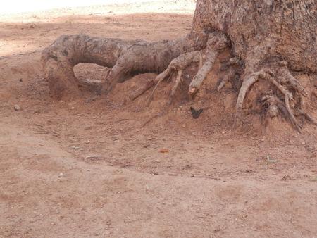 suelo arenoso: ra�ces de los �rboles expuestos en suelo arenoso