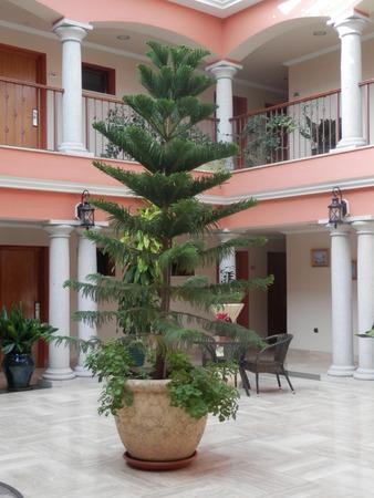 atrium: Large Pine tree in pot in hotel atrium, Antequera, Andalucia