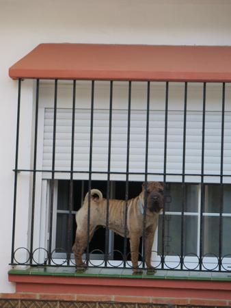 behind bars: Buldog behind bars on windowsill in Alora, Andalucia
