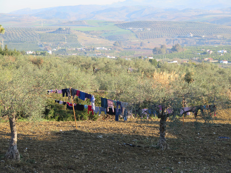 alfresco: Lines of Washing drying in olive grove Stock Photo