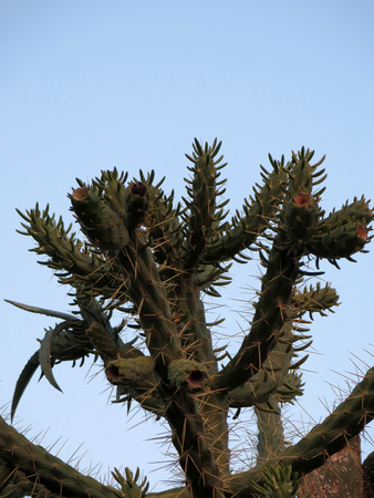cholla cactus: Close-up of the arms and spines on a cholla cactus