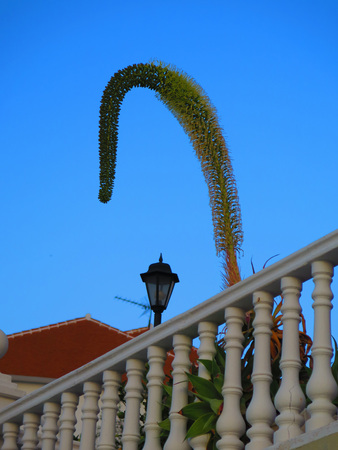 drooping: Large Drooping Cactus flower behind concrete railing