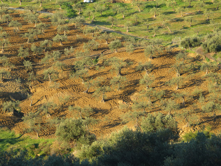 harrowing: Asymetrical tree planting in olive grove on sunny hill side with traces of recent harrowing near Alora, Andalucia