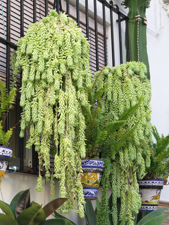 window bars: Succulent drooping green plants hanging from window bars in Alora, Andalucia