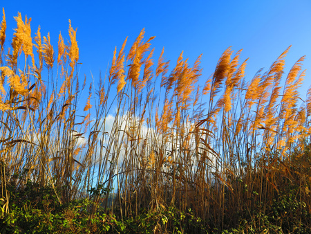 seeding: Seeding tall green bamboo grass closeup against blue sky Stock Photo