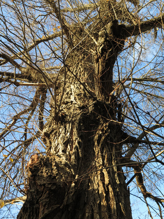 plantlife: Tall Tree with rough bark and without leaves