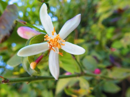 Fleur d'oranger est la fleur blanche cireuse de l'arbre orange. Banque d'images - 57019295