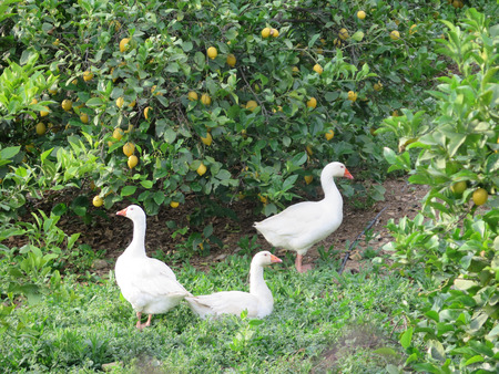 quizzical: Three geese in Lemon Grove in Andalusia Stock Photo