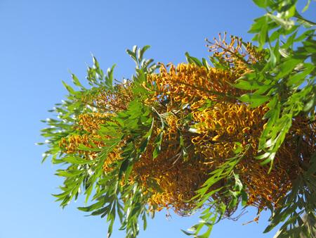 gondwana: Flower of Australian native tree the River Banksia Banksia seminuda found in Andalusian countryside