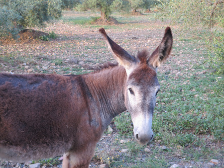 burro: brown donkeys grazing in olive grove in Andalusia