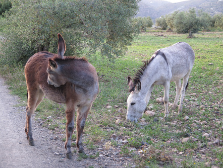burrows: gray and brown donkeys grazing in olive grove in Andalusia