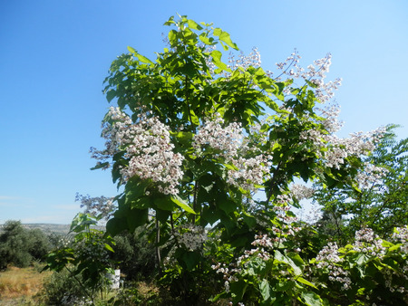 catalpa: Catalpa tree in full bloom in countryside in Jaen province, Andalusia