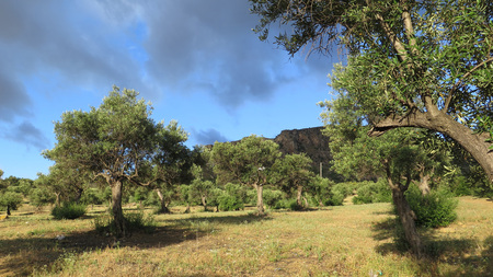 Sun and clouds on olive trees in grove near Alora, Andalusia Stock Photo