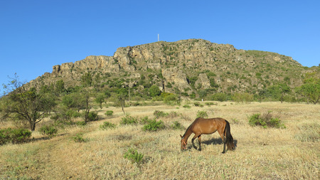 wild oats: Brown horse in field eating wild oats in Alora Countryside Andalusia