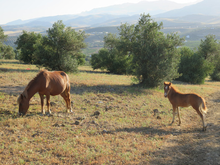wild oats: young brown foal in field eating wild oats in Alora Countryside Andalusia Stock Photo