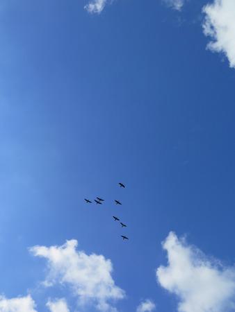 cormorants: Cormorants in the sky over Dutch inland lake Stock Photo
