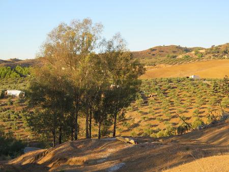 eucalyptus trees: Clump of Eucalyptus trees and Olive Grove
