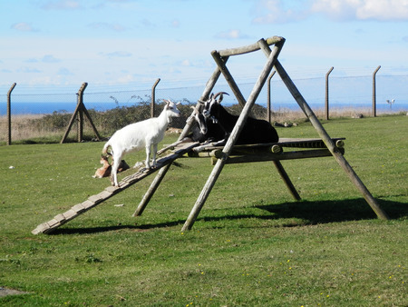Goats playing and resting on climbing frame on Isle of Portland, Dorset, UK
