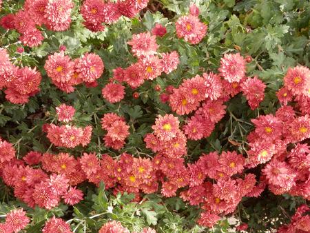 spanish village: Pink Dahlias in flowerbed in Spanish Village