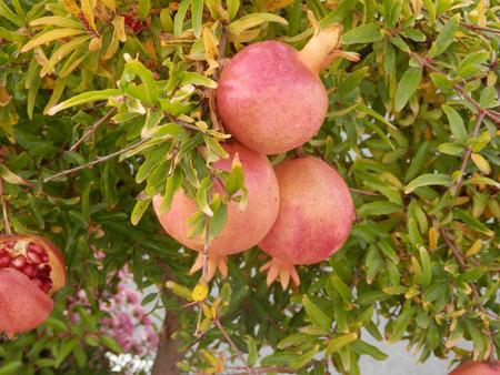 Nearly ripe pomegranate fruit in Spanish village
