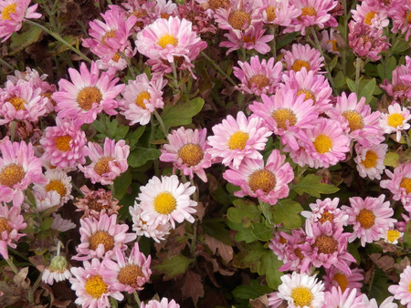 spanish village: Pink Daisies in flowerbed in Spanish Village