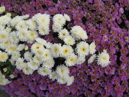 spanish village: white Dahlias and purple daisies in flowerbed in Spanish Village Stock Photo