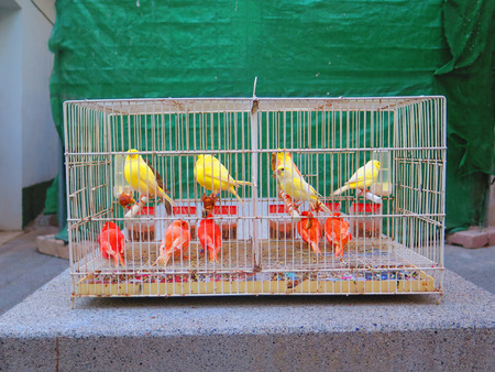 Coloured canaries for sale on concrete slab