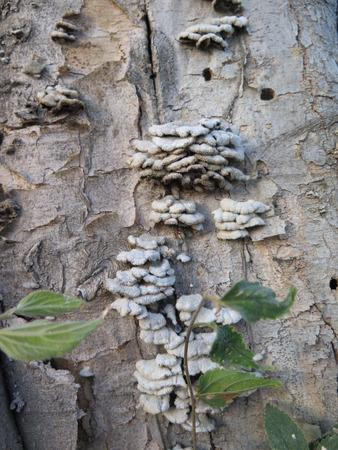 fungi: Closeup of Small inedible fungi on tree