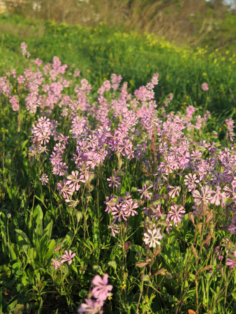 Closeup of clump of Delicate purple flowers Stock Photo