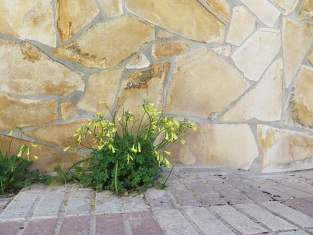 woodsorrel: Oxalis weed oxalidaceae or wood sorrel soursob growing in street verge and flowering in spring