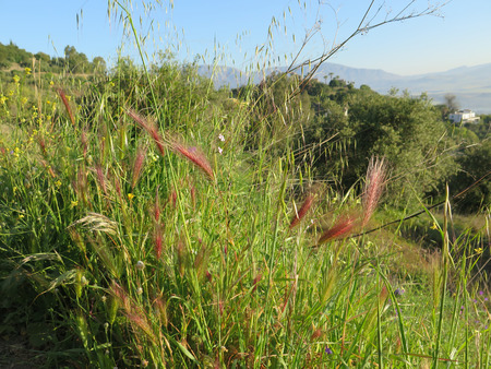 wild oats: Wild barley and oats in early morning sunshine on rural path in Andalusia
