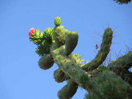 cholla: pink cholla cactus flower against blue sky Stock Photo