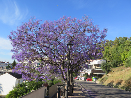 A flowering Jacaranda tree in Alora village, Andalusia Stock Photo