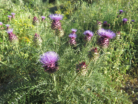 Large clump of purple thistle flowering in lush landscape in Andalusia, Spain Stock Photo